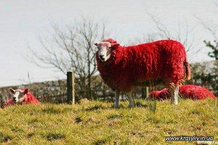Красные овци