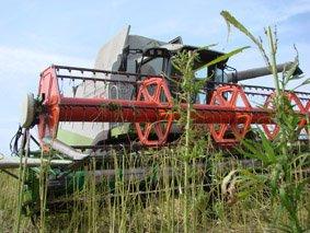 На Хмельниччині завершився збір ліцензованих посівів коноплі та маку