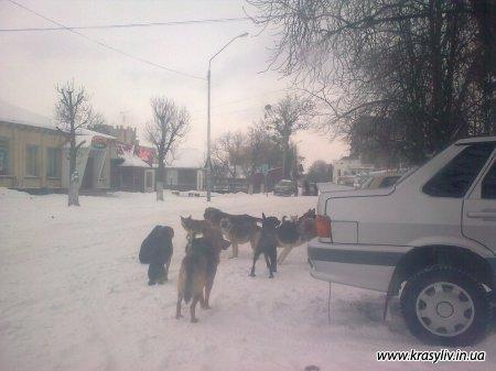 Зграя псів у центрі нашого міста